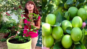 Tener un limonero en maceta Los limones son una gran bendición a nuestra salud ya que aporta más de 100 propiedades curativas.Tener unos limon