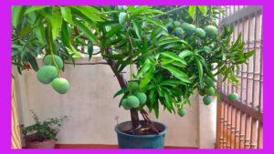 Sembrar mangos en casa potencian nuestra salud Todos podemos sembrar mangos en casa sin necesidad de tener mucho espacio ya que podemos